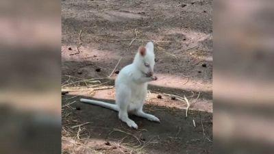 Canguro albino nato in Russia, perché è una razza rarissima