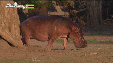 L'ippopotamo dello Zimbabwe
