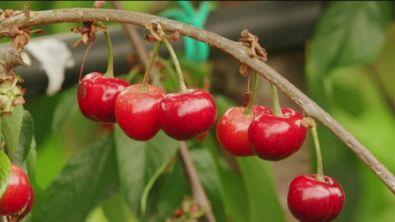 Le ciliegie dei Colli Asolani