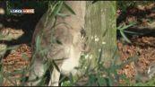 Il canguro grigio orientale