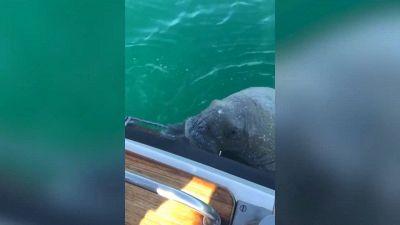 Wally, il tricheco artico è riapparso alla carica di una barca di turisti