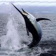 D.N.F. IMPORT EXPORT pesce spada