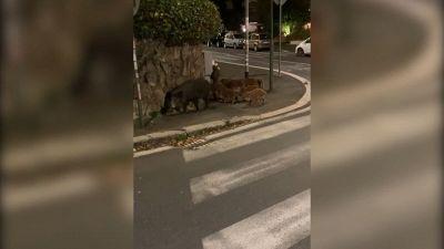Roma, una famiglia di cinghiali vaga per via Fani