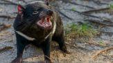 Diavoli della Tasmania riappaiono dopo 3mila anni in Australia