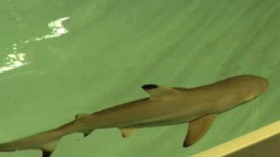 Festa all'acquario di Parigi: è nata uno squalo pinna nera
