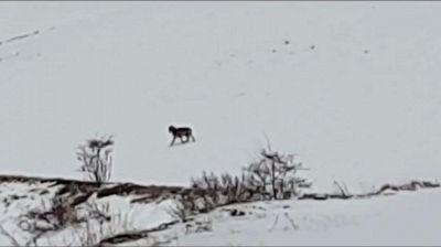 L'incontro ravvicinato con il lupo di Castelluccio di Norcia