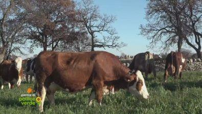 L'allevamento di mucca podolica