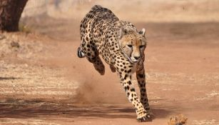 Aiuto! Il ghepardo salta sulla jeep e sorprende tutti