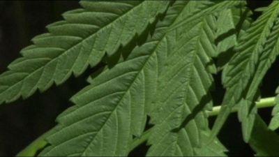 Cannabis terapeutica contro dolore cronico, ma burocrazia frena