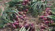 La cipolla rossa di Tropea IGP