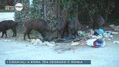 I cinghiali a Roma tra degrado e ironia