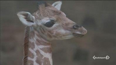 Giraffe a rischio estinzione