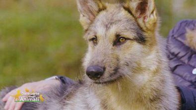 Asso, un bellissimo lupo cecoslovacco