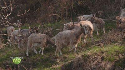 L'allevamento di capre in alpeggio