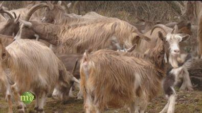 L'allevamento delle capre