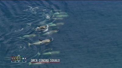 Orca contro squalo