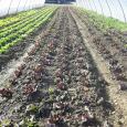 Agricola Bencini Tommaso produzione frutta