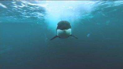 Alla ricerca delle orche