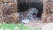 Piccole tigri crescono