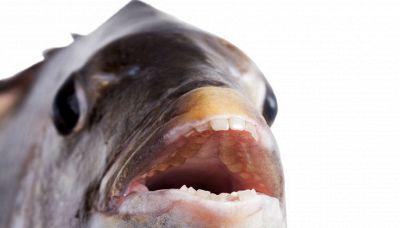 Pesce con i denti umani: la strana specie che popola i mari