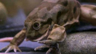 """Allo zoo di Chester arriva la """"rana scroto"""" in via d'estinzione"""