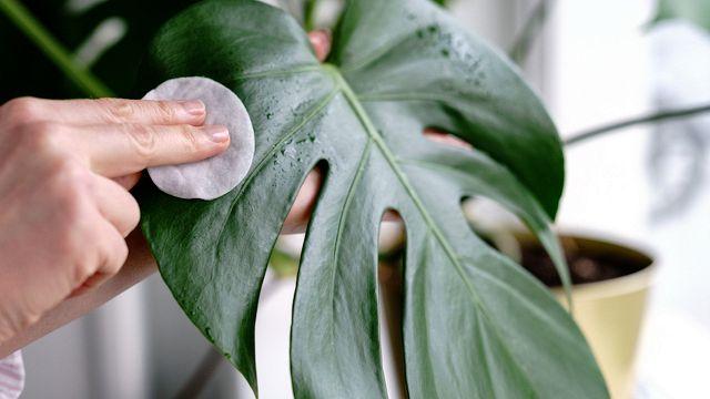 Piante, come e ogni quanto pulirne le foglie