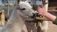 Il training con il lama