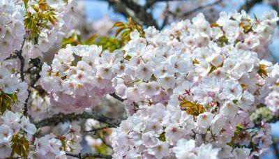 Lo spettacolo della fioritura dei ciliegi