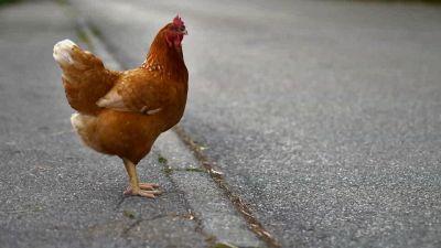 """Lo strano """"lavoro"""" delle galline che bloccano il traffico"""