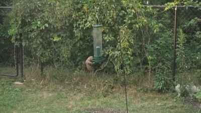 Lo scoiattolo 'volante': il video è tutto da ridere