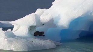 Puma su iceberg: l'avvistamento incredibile in Argentina