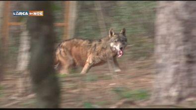 Centro del lupo
