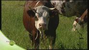 Allevamento di mucche e capre