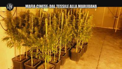 REI: Mafia cinese: dal tessile alla marijuana