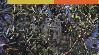 L'olio extravergine di oliva Dop Canino