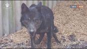 Storia di Rufus, il lupo creduto un cane