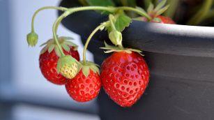 Fragole, coltivale così partendo dal frutto