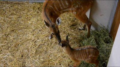 Fiocco azzurro al parco Le Cornelle, nato un piccolo di antilope