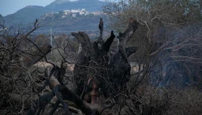 Cuglieri, l'intera città fa la guardia per salvare l'olivastro millenario