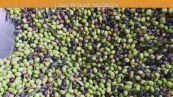 L'olio di oliva taggiasca