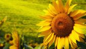 Il labirinto dell'estate è fatto di girasoli: ecco dove