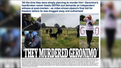 """In Gb l'alpaca Geronimo """"giustiziato"""", scontri animalisti-polizia"""