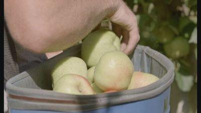 La mela sostenibile della Val di Non