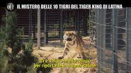 INNOCENZI: Il Tiger King italiano e l'odissea della 10 tigri di Latina
