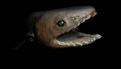 Avvistato squalo preistorico, sopravvissuto all'estinzione dei dinosauri