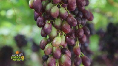L'uva di Mazzarrone