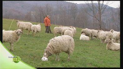Le pecore frabosana